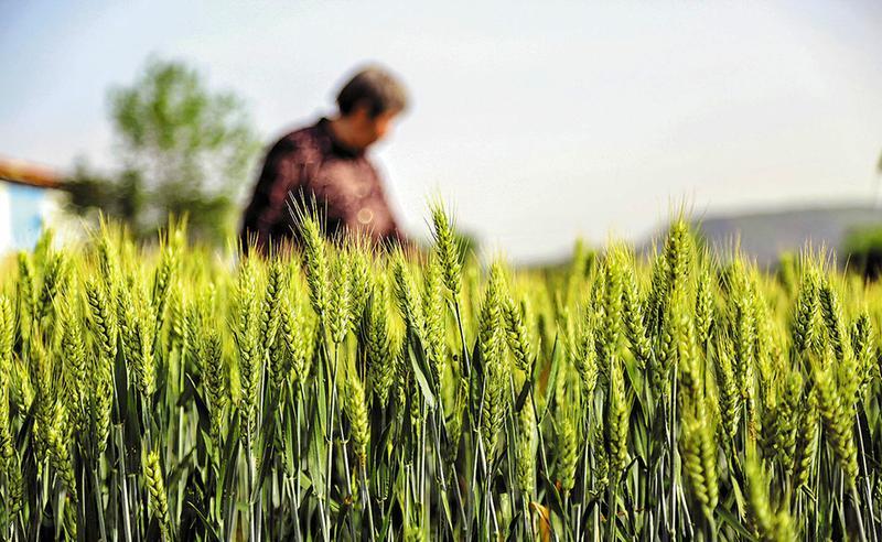 小满时节,夏熟作物的籽粒开始灌浆饱满,但还未成熟,只是小满,还未大满。希望的田野上,丰收在望。.jpg